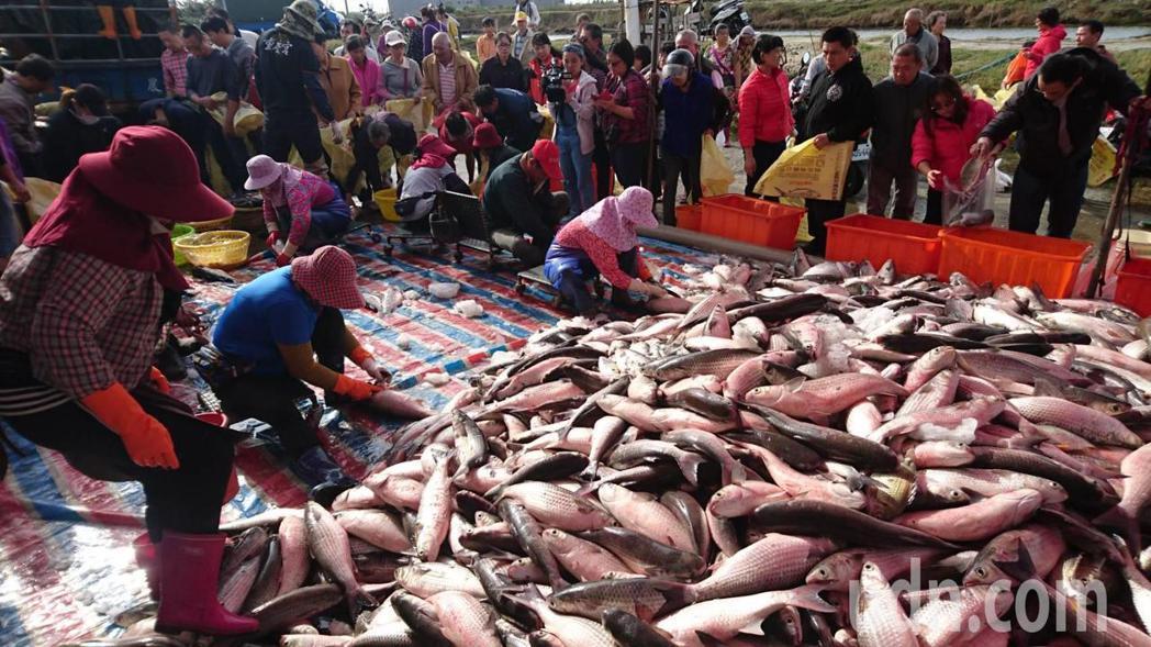 烏金上市 今年養殖烏魚子價格可望持平