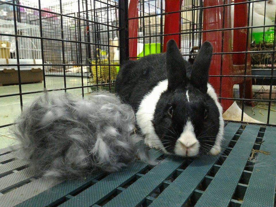 如圖可見兔子的毛十分輕飄,此外籠子至少需要三尺見方,飼養前務必考慮清楚。  圖片...