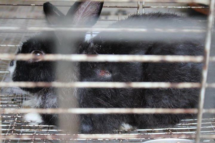 不當飼養的可愛動物區,救出來的兔子每一隻都受傷,還有嚴重的先天疾病。 圖片來源:...