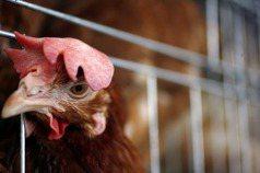 黃宗慧/看見格子籠雞的困境:站在動物福利雞蛋這一邊