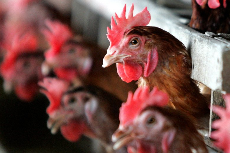 一旦要去關心如格子籠雞這樣的經濟動物受苦與否的問題,就得承認很多食物不只是食物,...