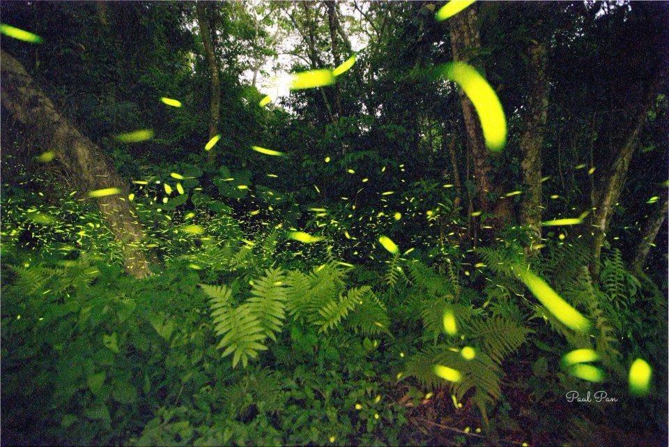 飛舞的螢火蟲,放出點點螢光,相當美麗!(圖片來源/飛螢農莊FB粉絲團)