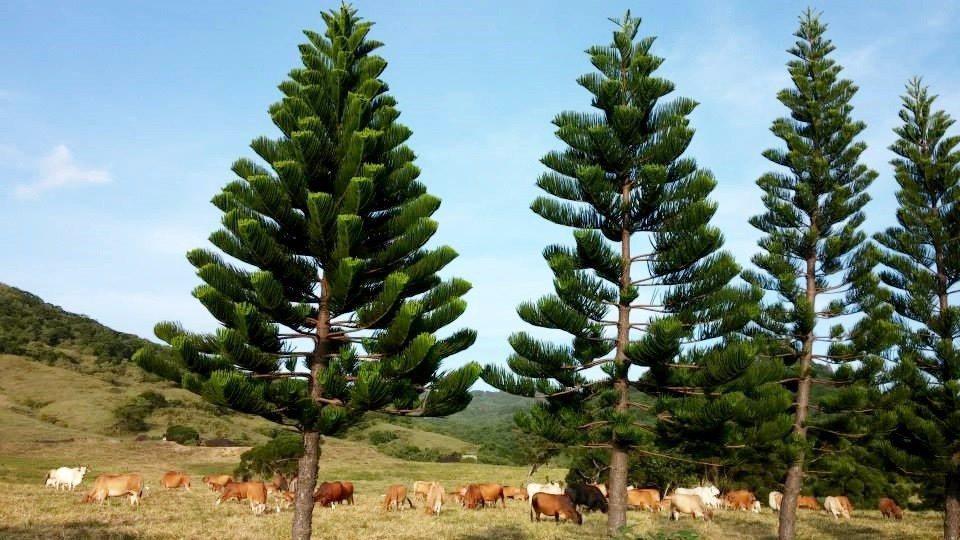 在綠油油的大草原上,可以捕捉到大批牛群正在吃草的難得畫面。(圖片來源/六福山莊F...