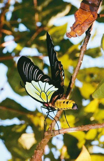 墾丁國家公園上月底首度記錄到蘭嶼特有、瀕臨絕種的珠光鳳蝶,牠羽翅上的鱗片在陽光照...