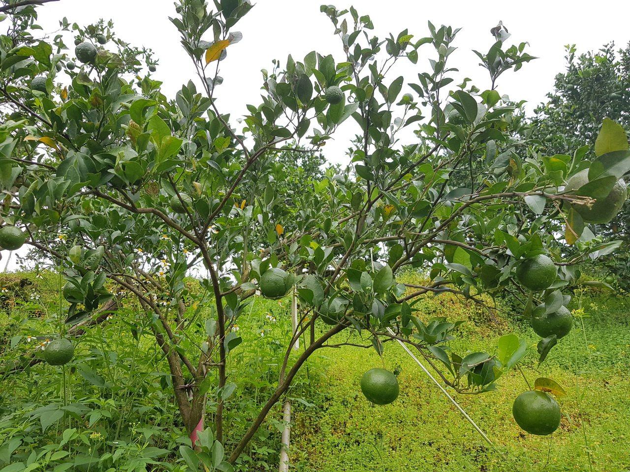 香甜又微酸的東山椪柑。記者謝進盛/攝影