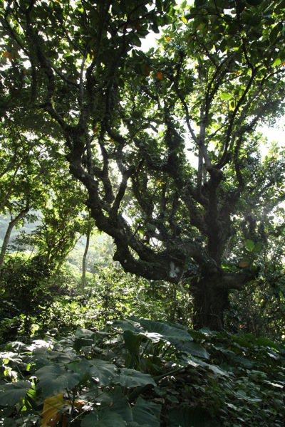 蘭嶼原民住屋旁邊森林裡的麵包樹、台東龍眼,既可以當住屋與拼板舟材料,也是部落的水...