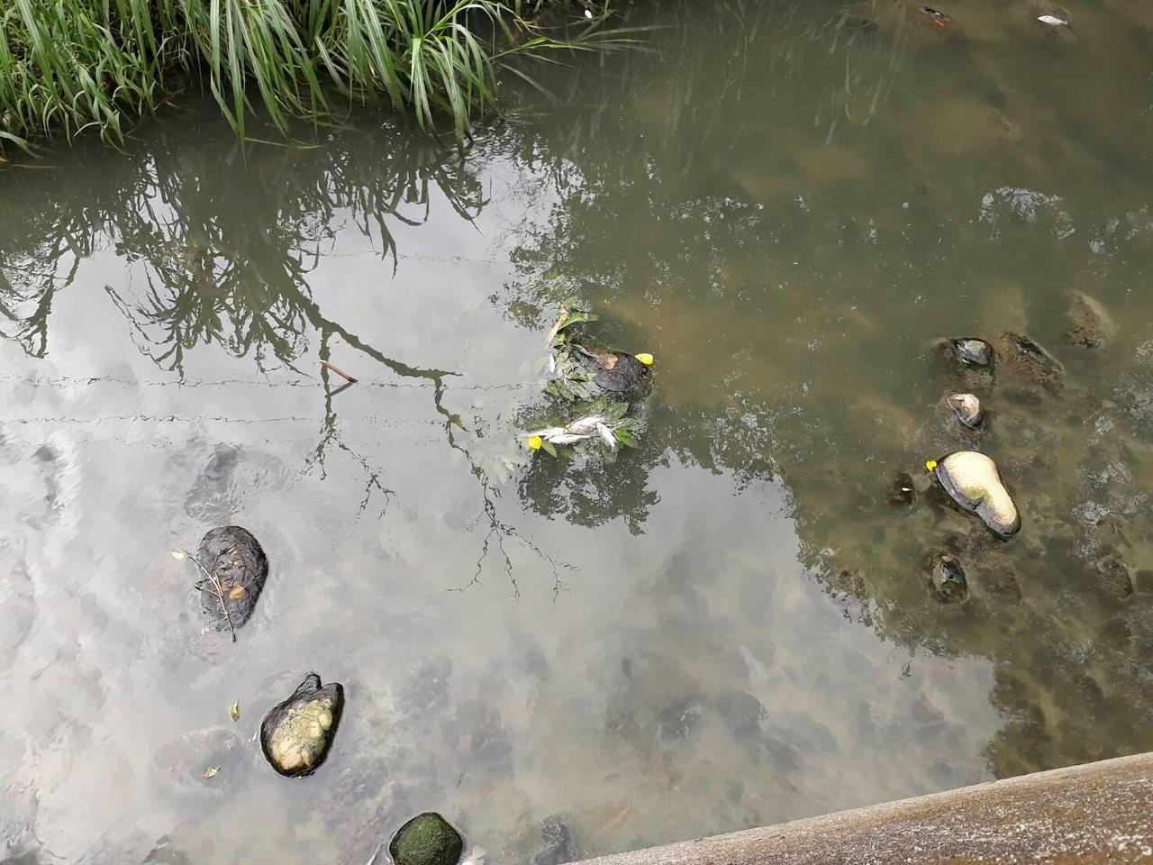 野溪裡出現死魚,環保局已取樣分析並稽查來源。圖/市議員蔡淑君提供