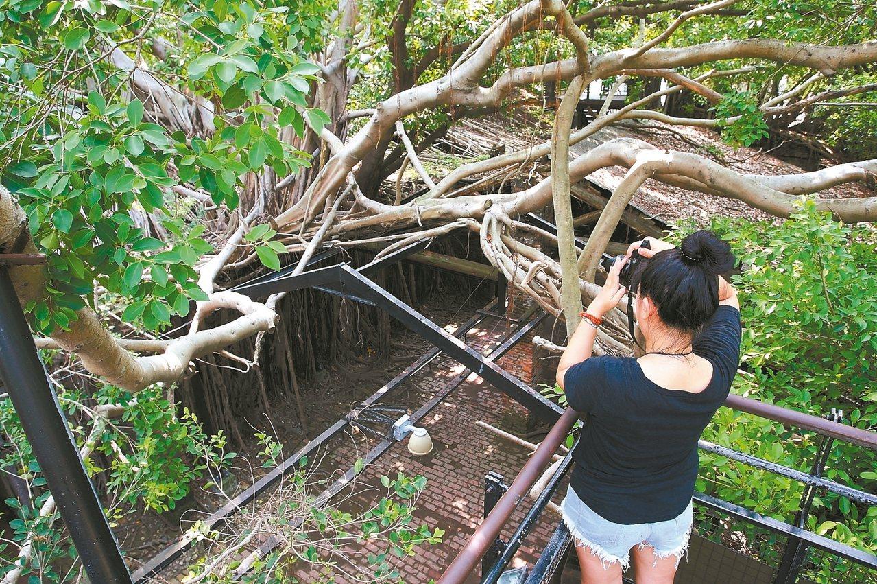 從二樓俯瞰安平樹屋,更可一覽樹木依建築而生的奇景。 記者陳睿中/攝影