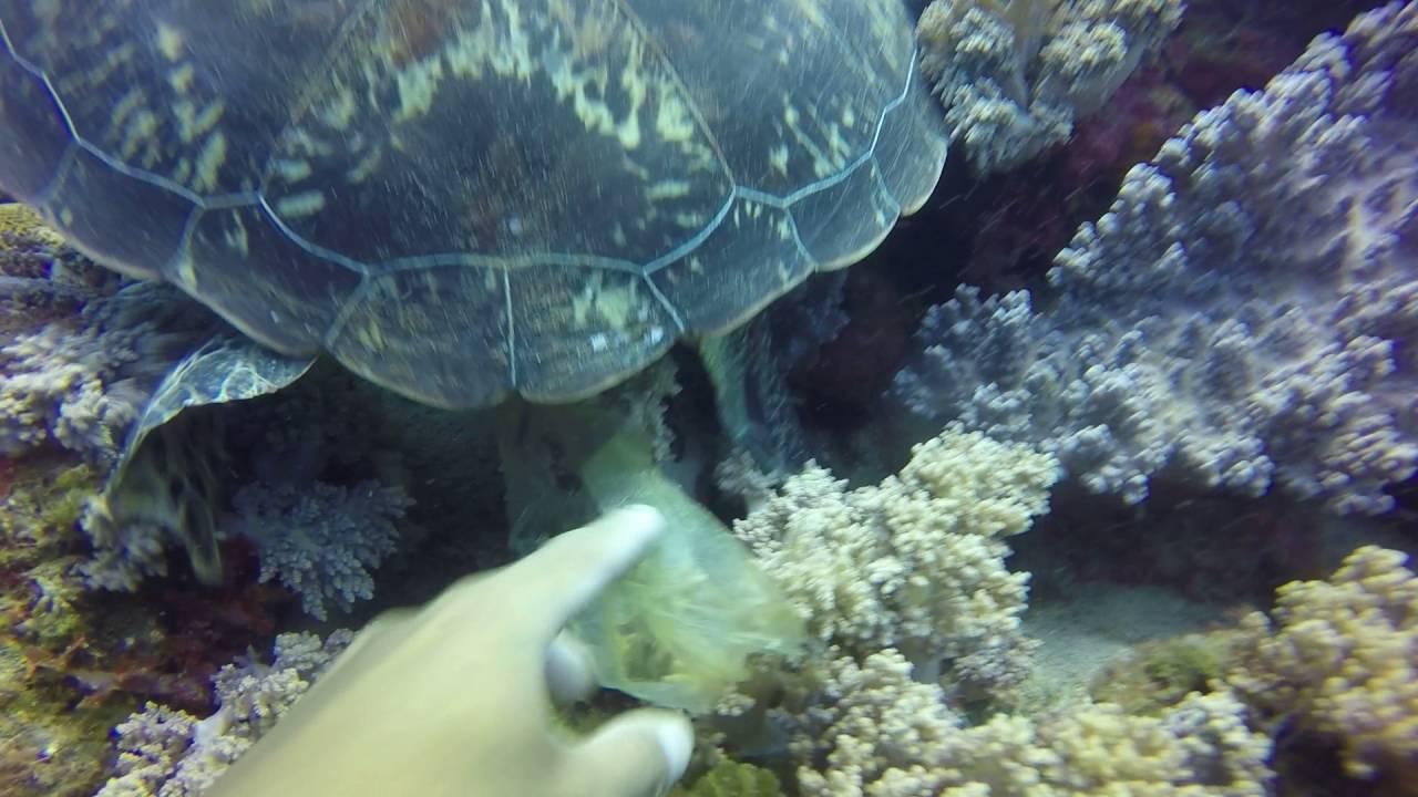 肛門被塑膠袋阻塞的海龜。圖擷自島人提供的影片
