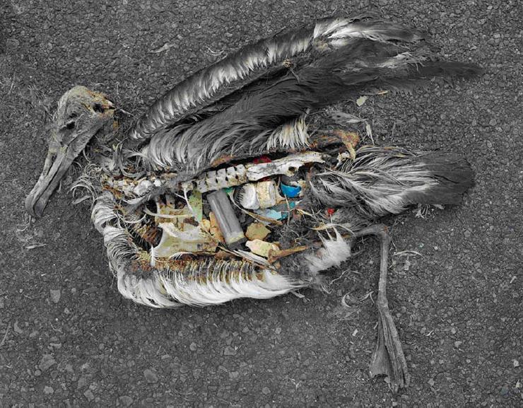 信天翁肚子含大量塑膠製品。攝影:Christ Jordon
