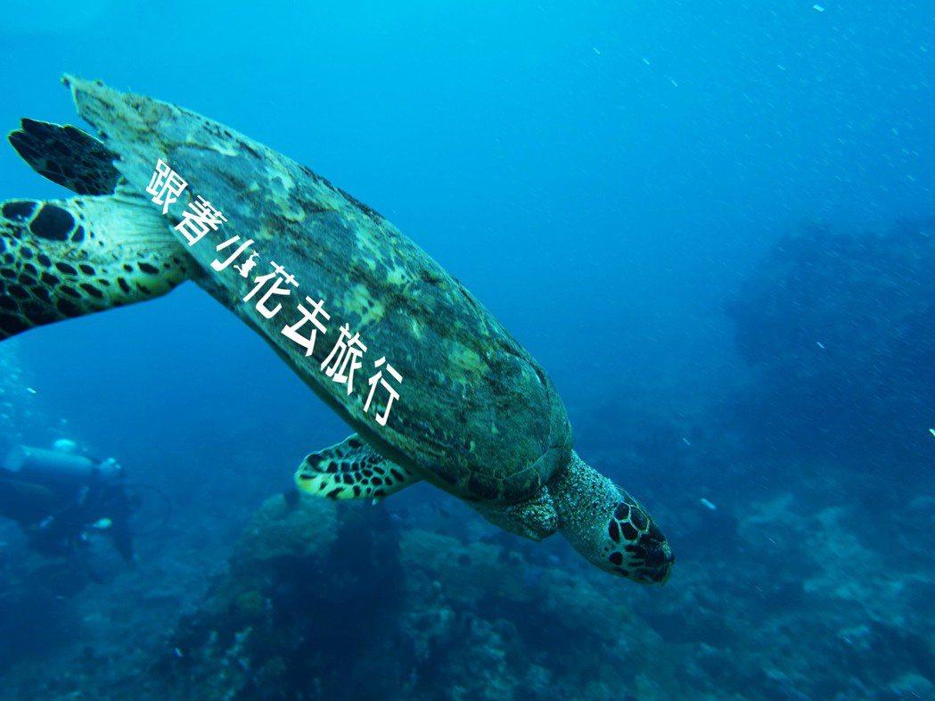 只有三隻腳的海龜,堅強的活著,是否能喚起人類的保育意思 攝影:小花。吳成夫