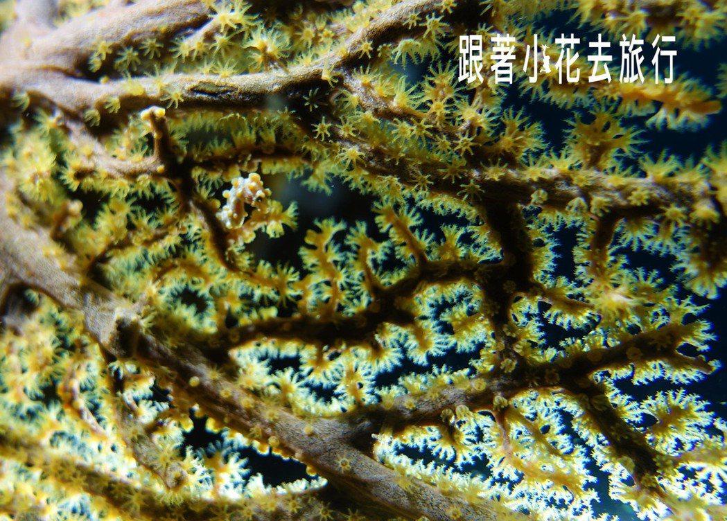 阿尼洛的水下明星之一 ,黃色的豆丁海馬 攝影:小花。吳成夫