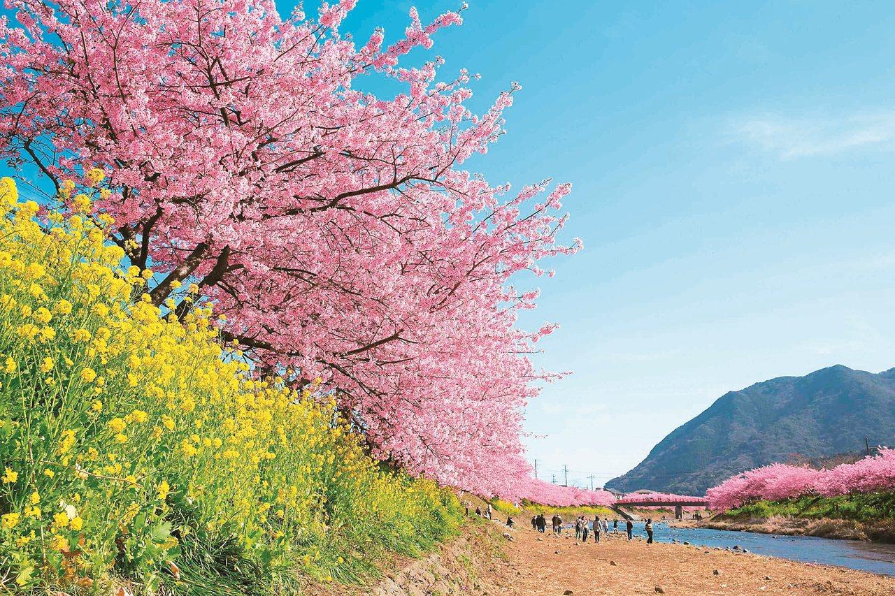 日本最早櫻花河津櫻二月底至三月初盛開於伊豆。 圖/有行旅提供