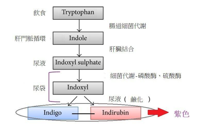 內科醫師巫慶仁表示,「紫色尿」發生原因是食物中的色胺酸在大腸中被細菌作用分解,循...