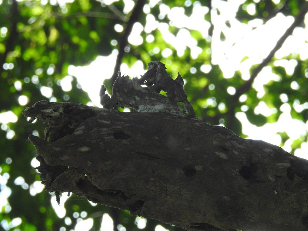 北港村茄苳神木樹洞正上方枯木遭蟲蛀得滿是孔洞後,竟意外呈現「雄獅踞稍」的意象。記...