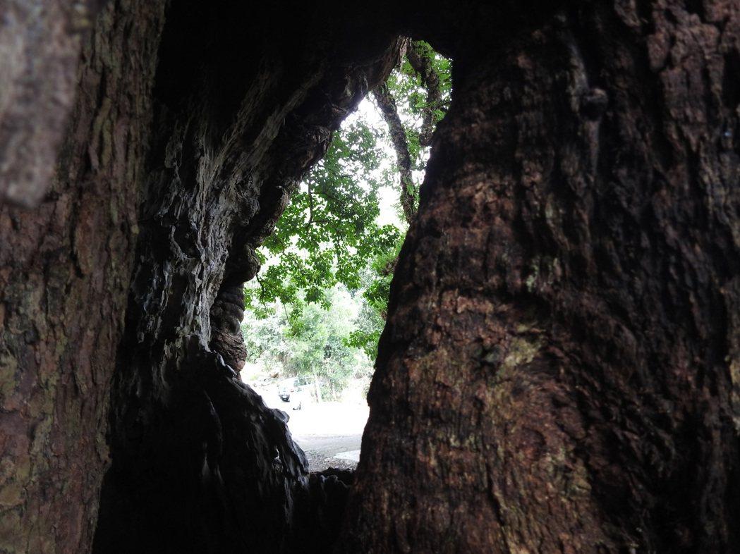 只要從北港村茄苳神木樹縫空隙向大樹洞,稍微抓角度就能拍出「台灣地圖」。記者賴香珊...