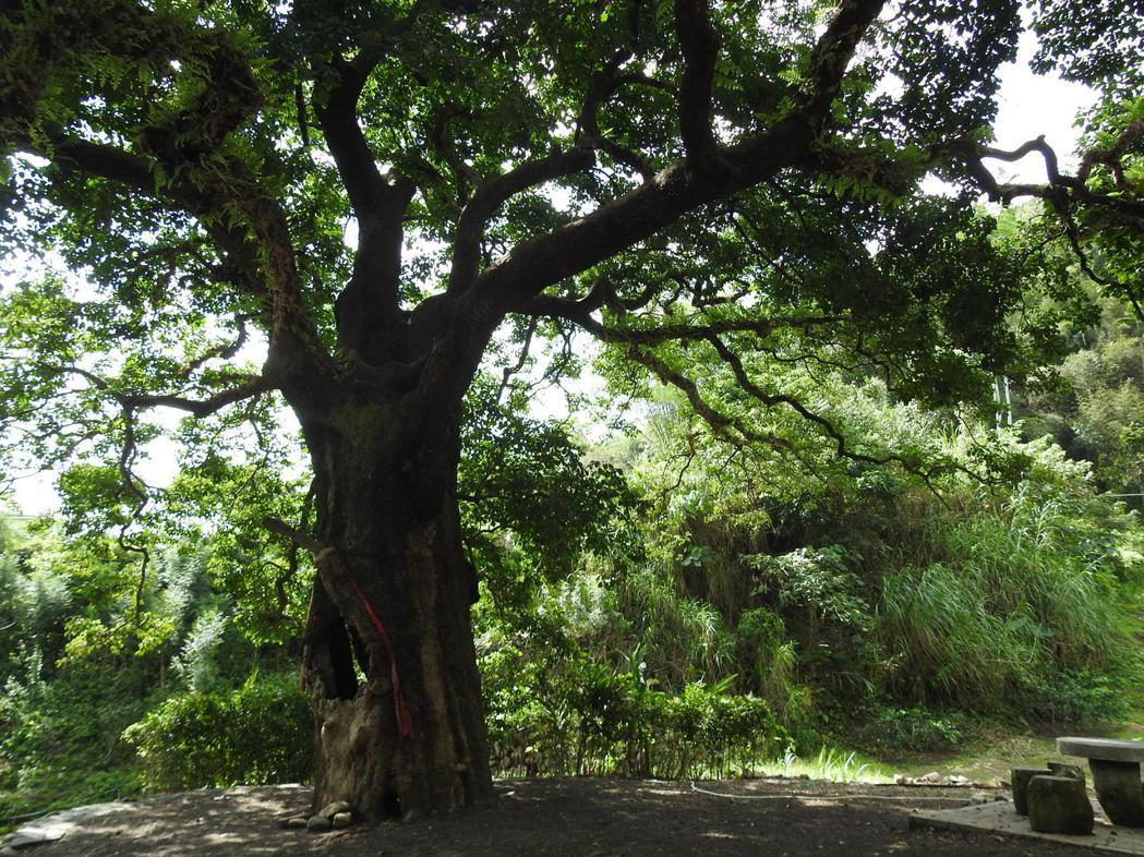 國姓鄉北港村茄苳神木樹齡逾300歲,從特定角度拍攝竟有台灣和雄獅踞稍等意象。記者...