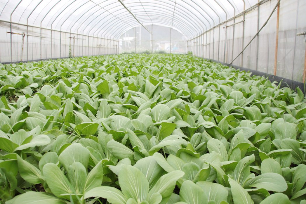 農糧署昨表示,最快年底前推出設施保險。圖為桃園市大溪區義和農場以溫網室栽種蔬菜。...