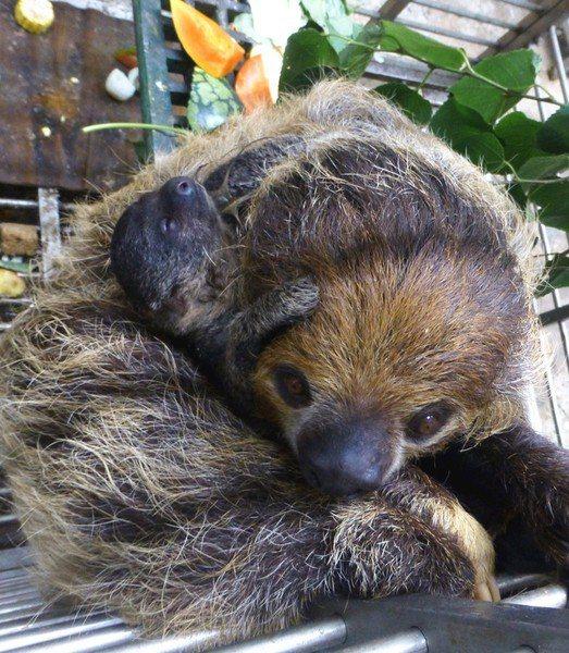 中秋節才剛誕生的二趾樹懶「葉靛」天天都依偎在媽媽「樹葉」懷中。(photo by...