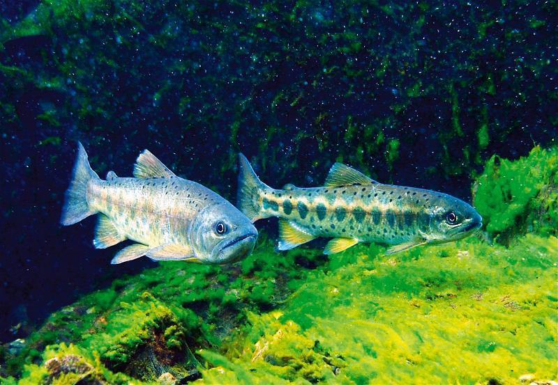 冰河孑遺的國寶魚櫻花鉤吻鮭。