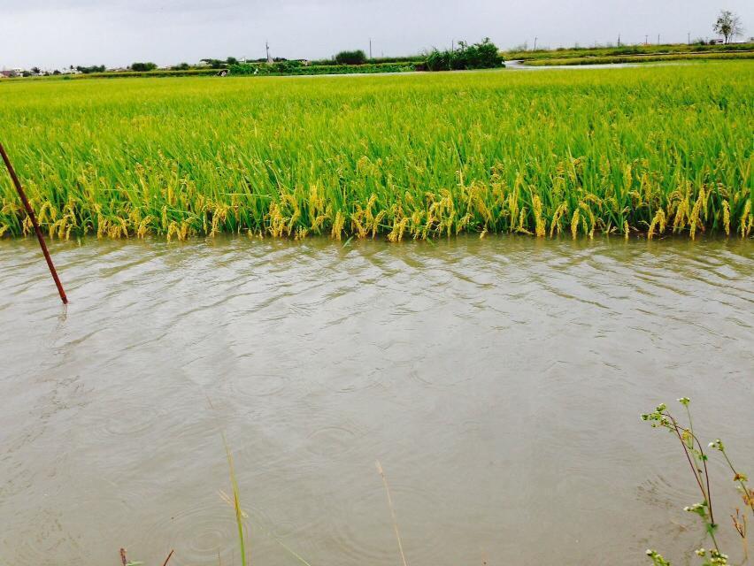 今年即便沒有颱風直接襲台,但大雨、冰雹、霜害仍造成近10億農損。本報資料照片