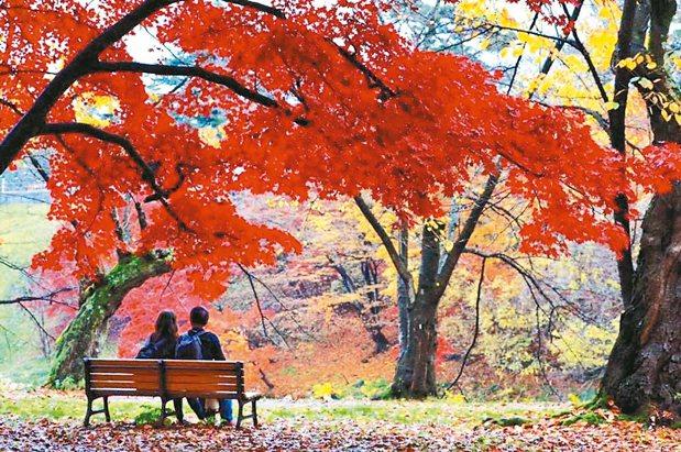 弘前公園裡的楓紅點亮詩意,是戀人的朝聖之地。 陳志光/攝影
