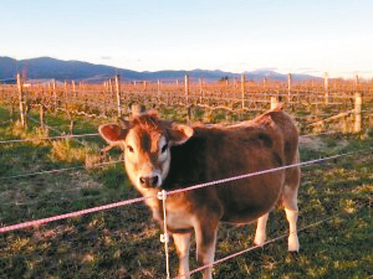 圖為法國博訥地區的母牛。 取自博訥葡萄酒協會