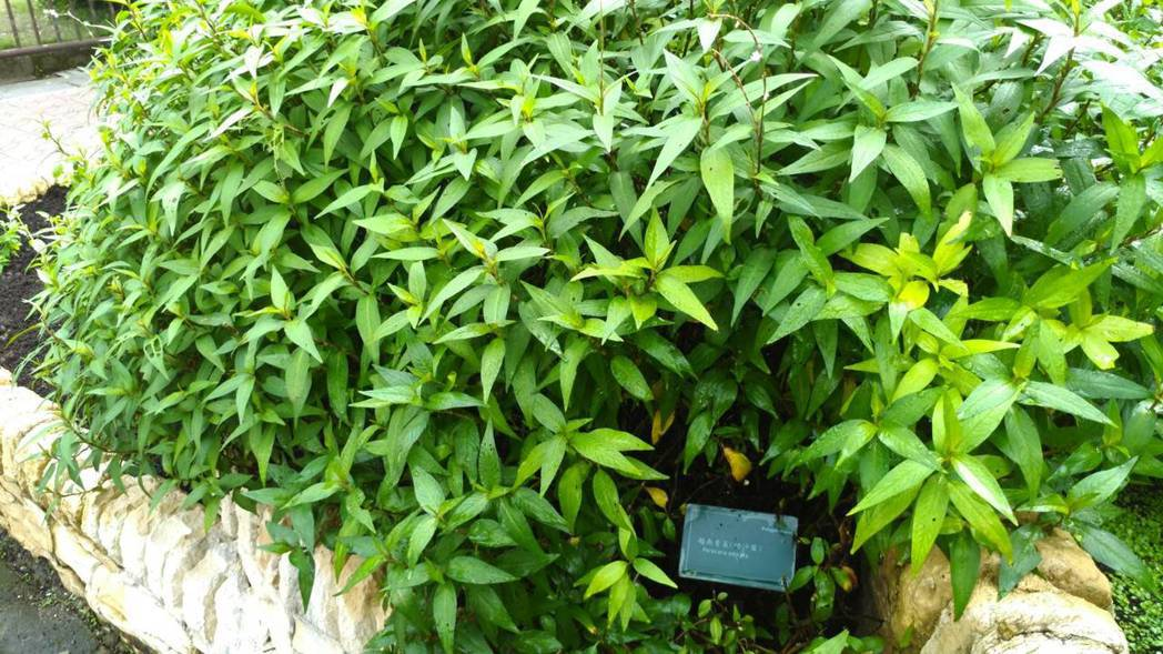 台北植物園內的越南香菜。 記者董俞佳/攝影