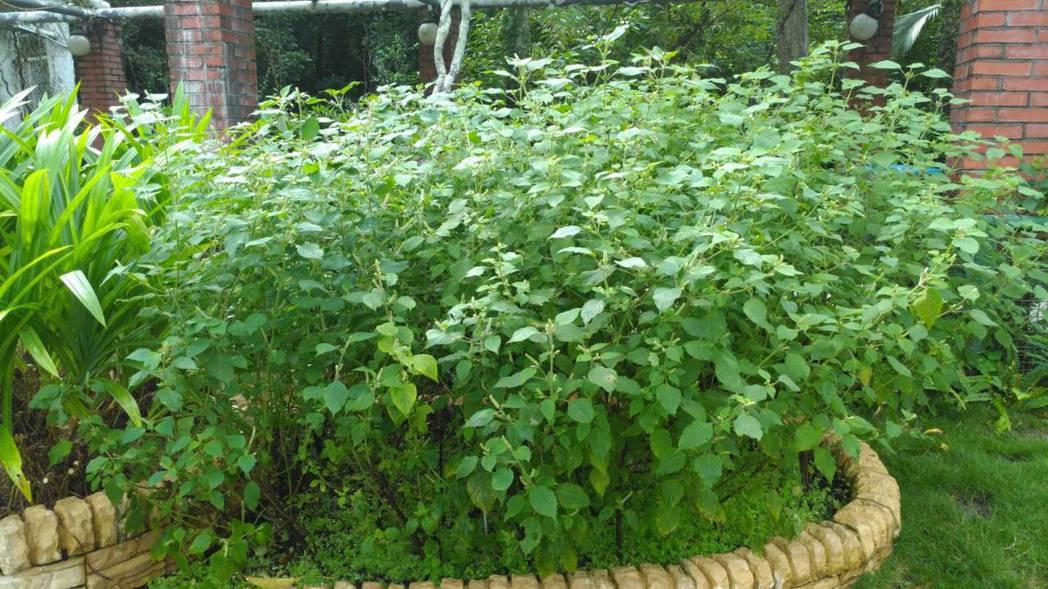 台北植物園內的白紫蘇。 記者董俞佳/攝影