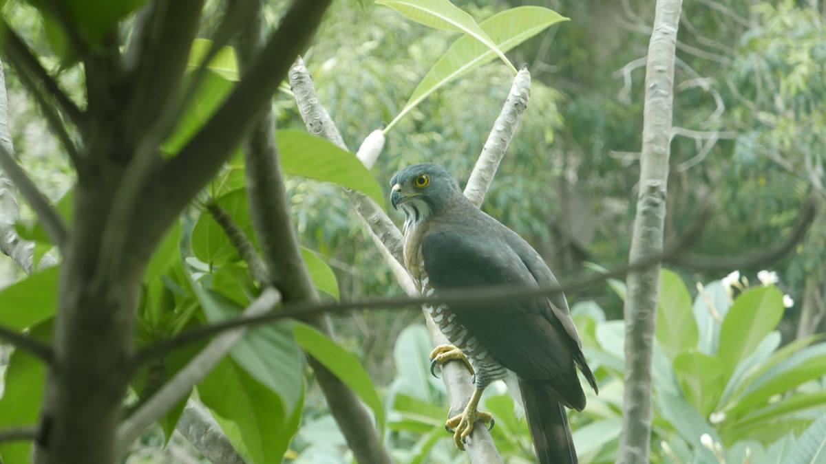 台南市南區竹溪旁的社區樹林,飛來鳳頭蒼鷹,讓居民驚訝與欣喜。圖/晁瑞光提供