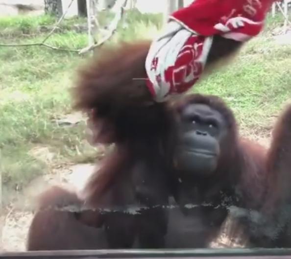紅毛猩猩學人擦玻璃。取自壽山動物園臉書