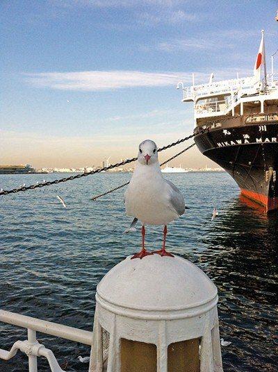 可愛的海鷗也是港口才看得到的可愛景致。