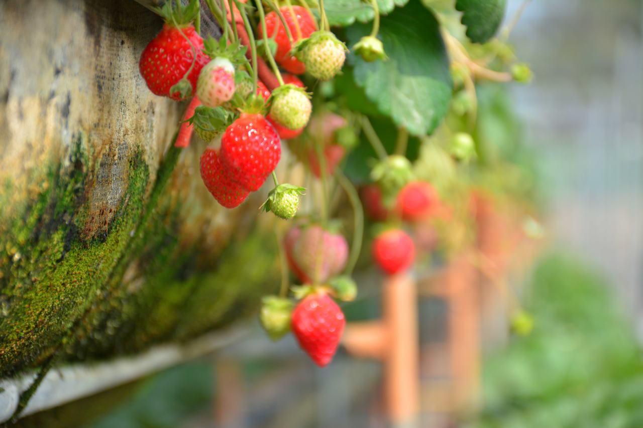 網路謠傳草莓噴灑勃激素 (GA)可能致癌,農委會說,別以訛傳訛。聯合報系資料照