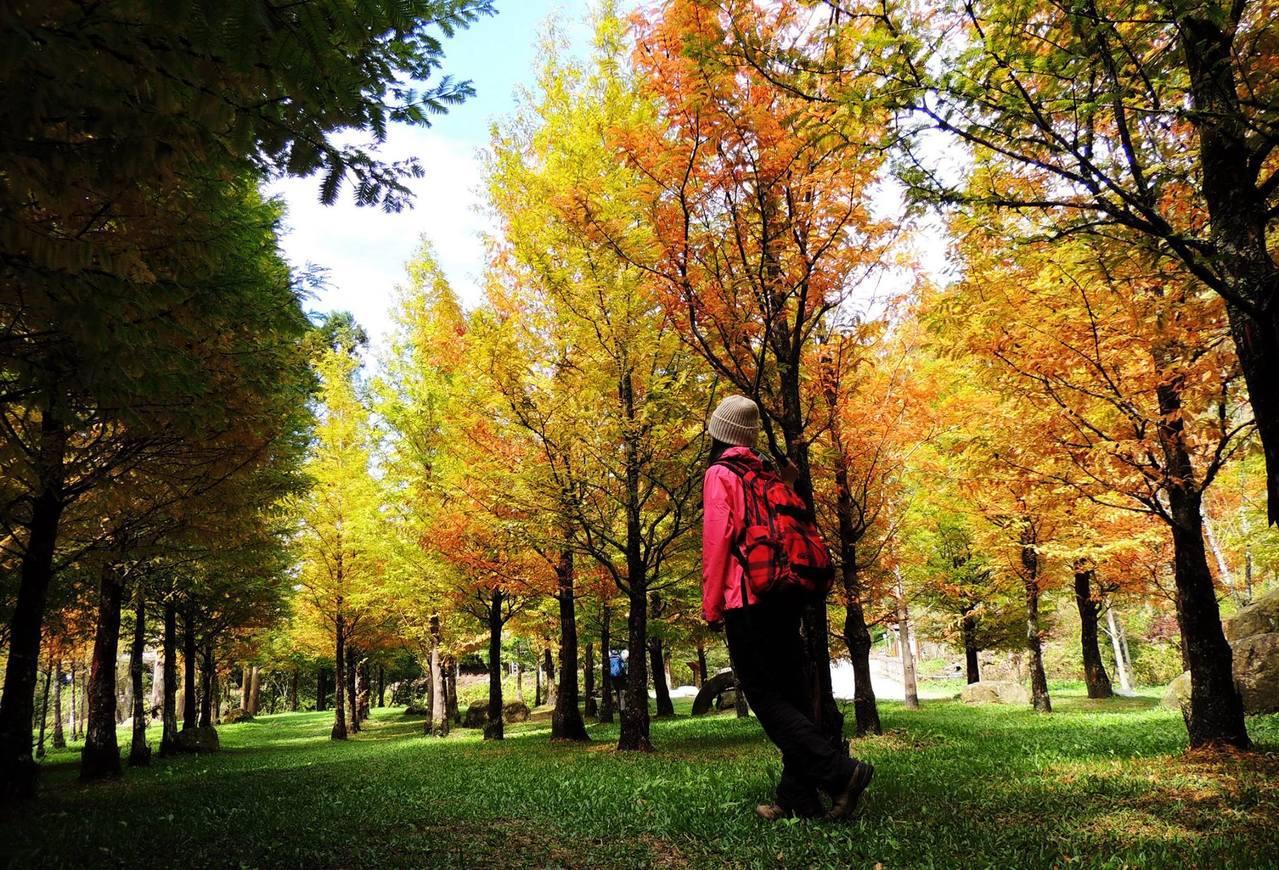 漸層色的水杉別有一番美感。圖/摘自愛上杉林溪粉絲團
