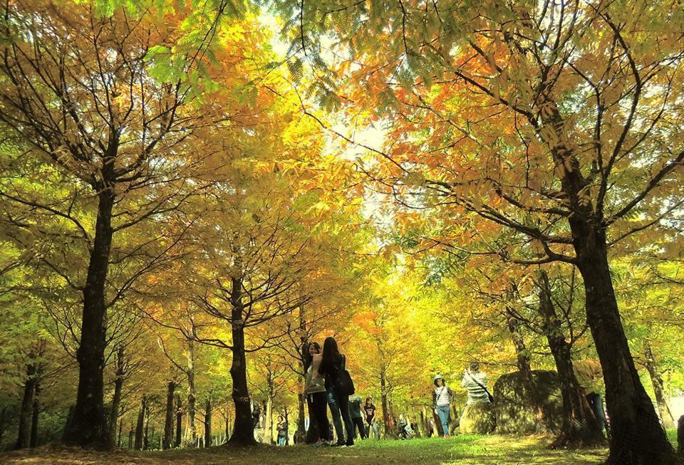 金黃色水杉在光影照射下,讓大地染上濃濃秋意。圖/摘自愛上杉林溪粉絲團