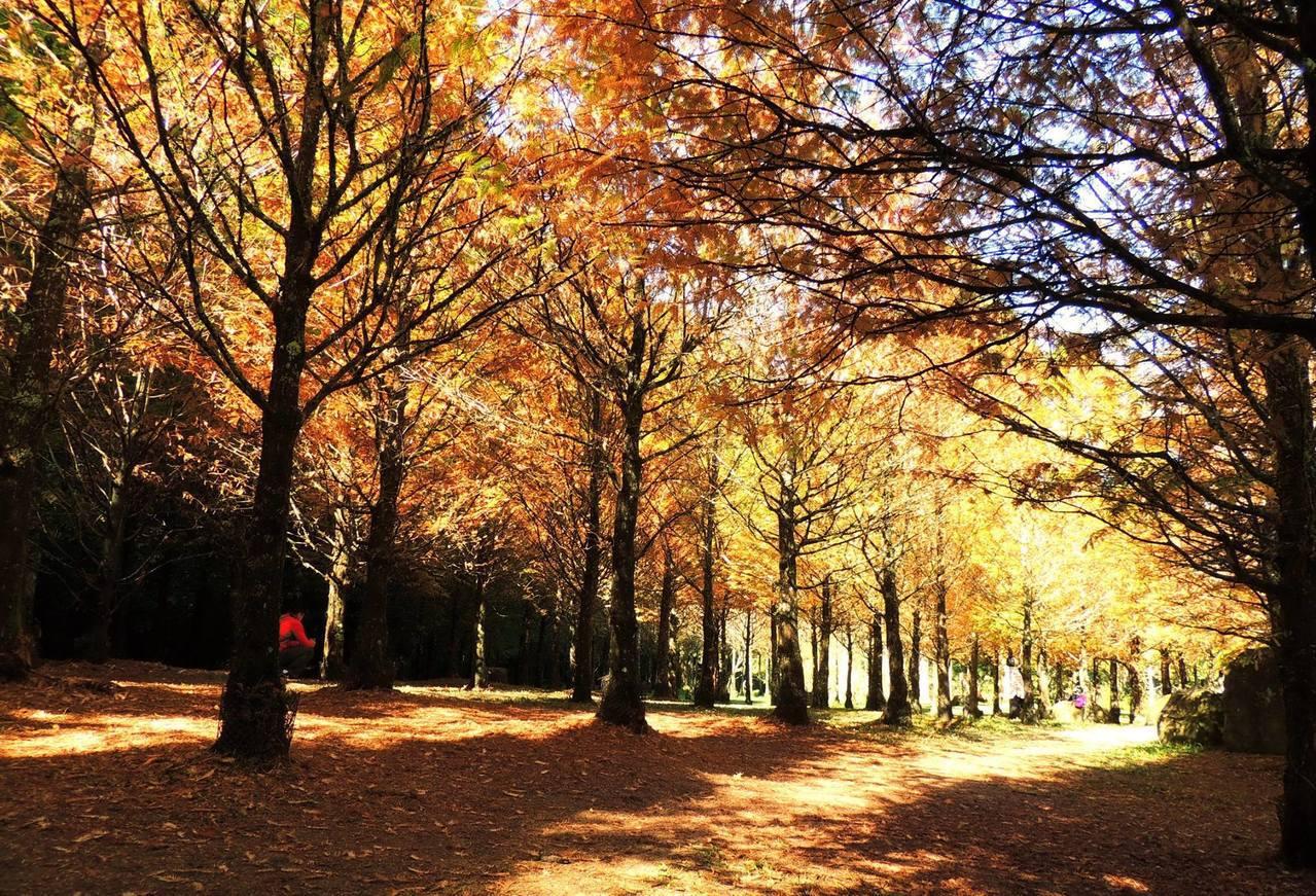 黃澄澄的水杉美不勝收,比起韓劇場景有過之無不及。圖/摘自愛上杉林溪粉絲團