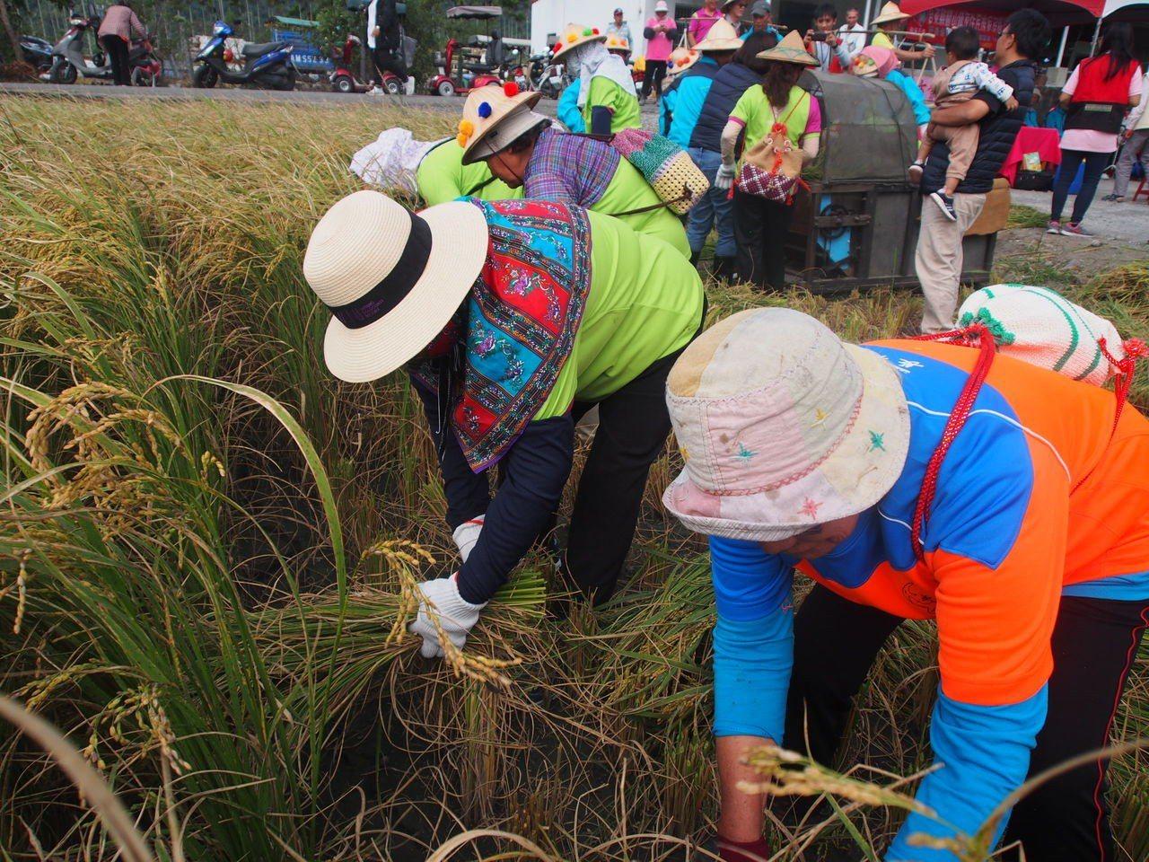 關山阿美族的阿嬤們俐落地拿著鐮刀割稻,重溫種稻收割時的喜悅。 記者潘俊偉/攝影