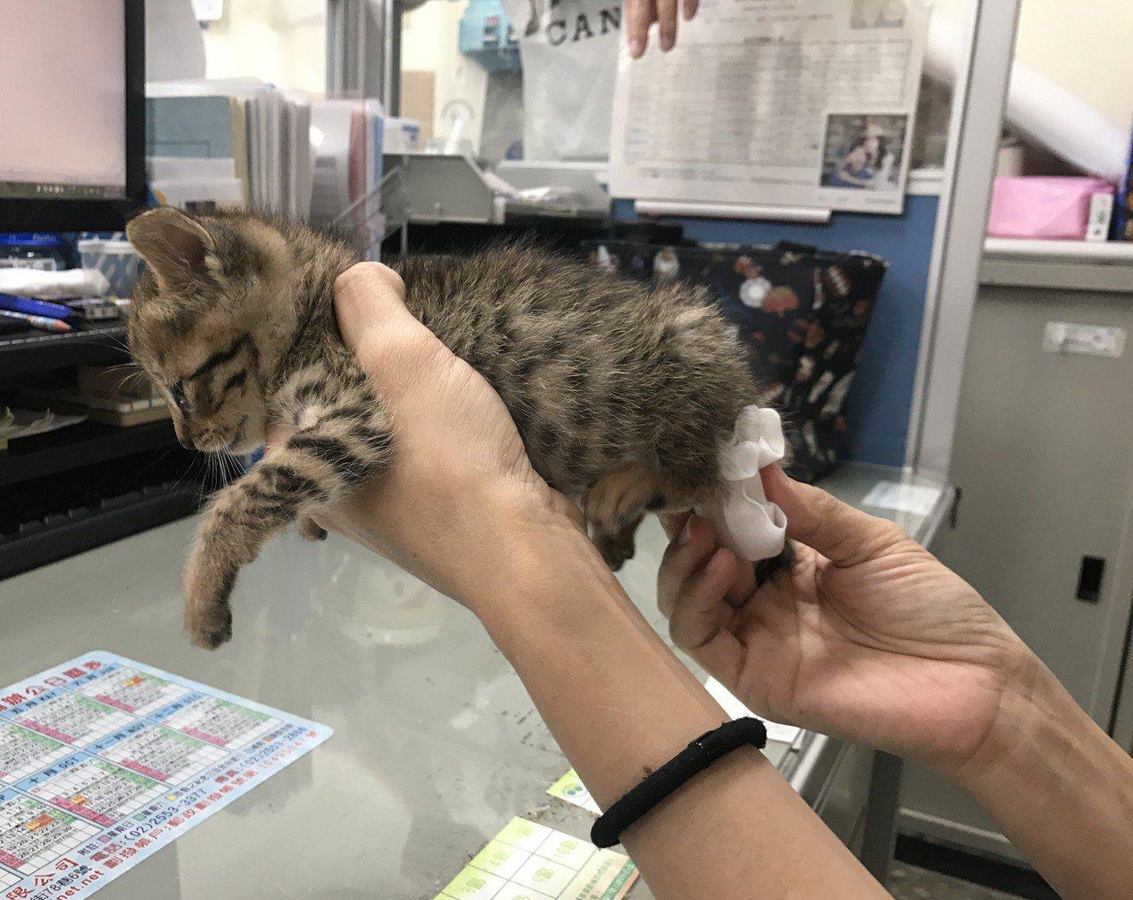新北市動保處動保員表示,教小貓上廁所也是學問,要從餵食後催便開始,繼而還要耐心引...