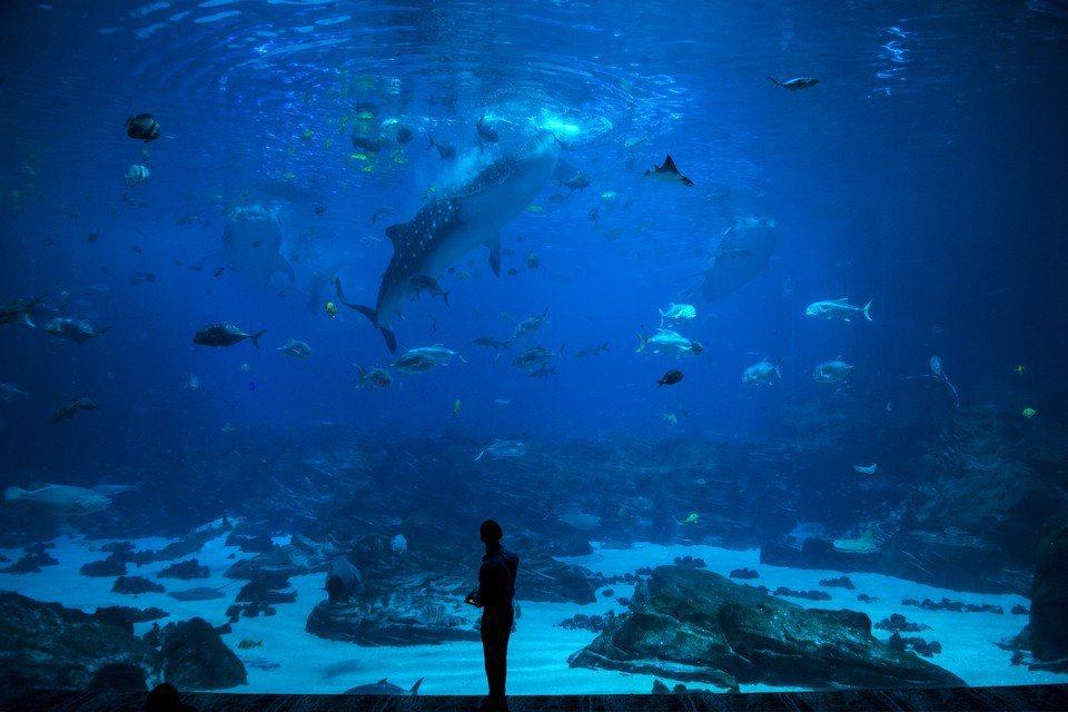 研究人員表示,藍鯨捕食獵物時通常傾向向右側轉身,如同多數人類屬「右撇子」一般,然...