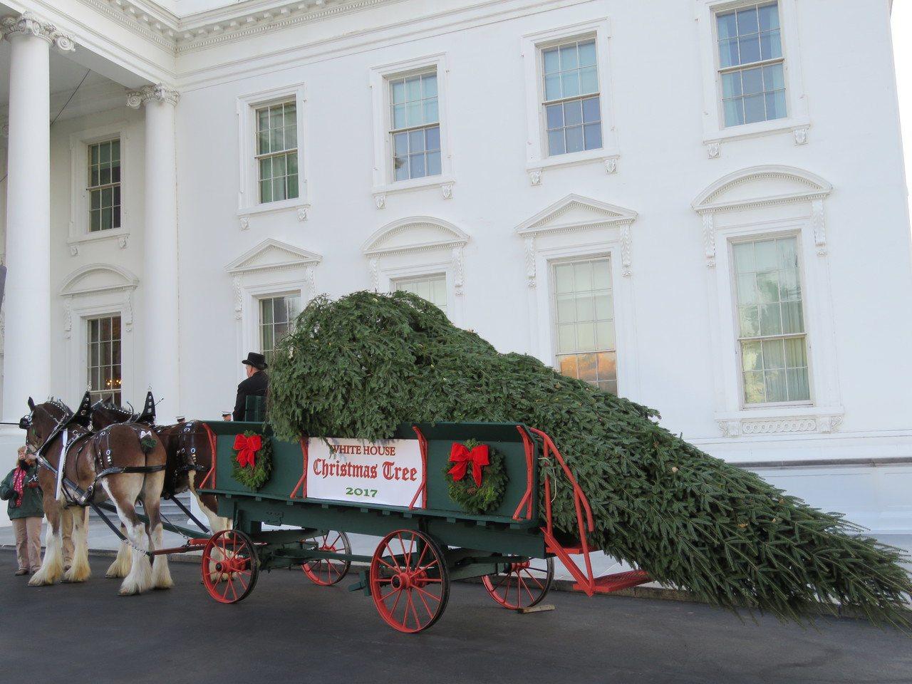 來自威斯康辛州林場,約19.5英尺高的聖誕樹,在全美聖誕樹協會比賽獲勝後,20日...