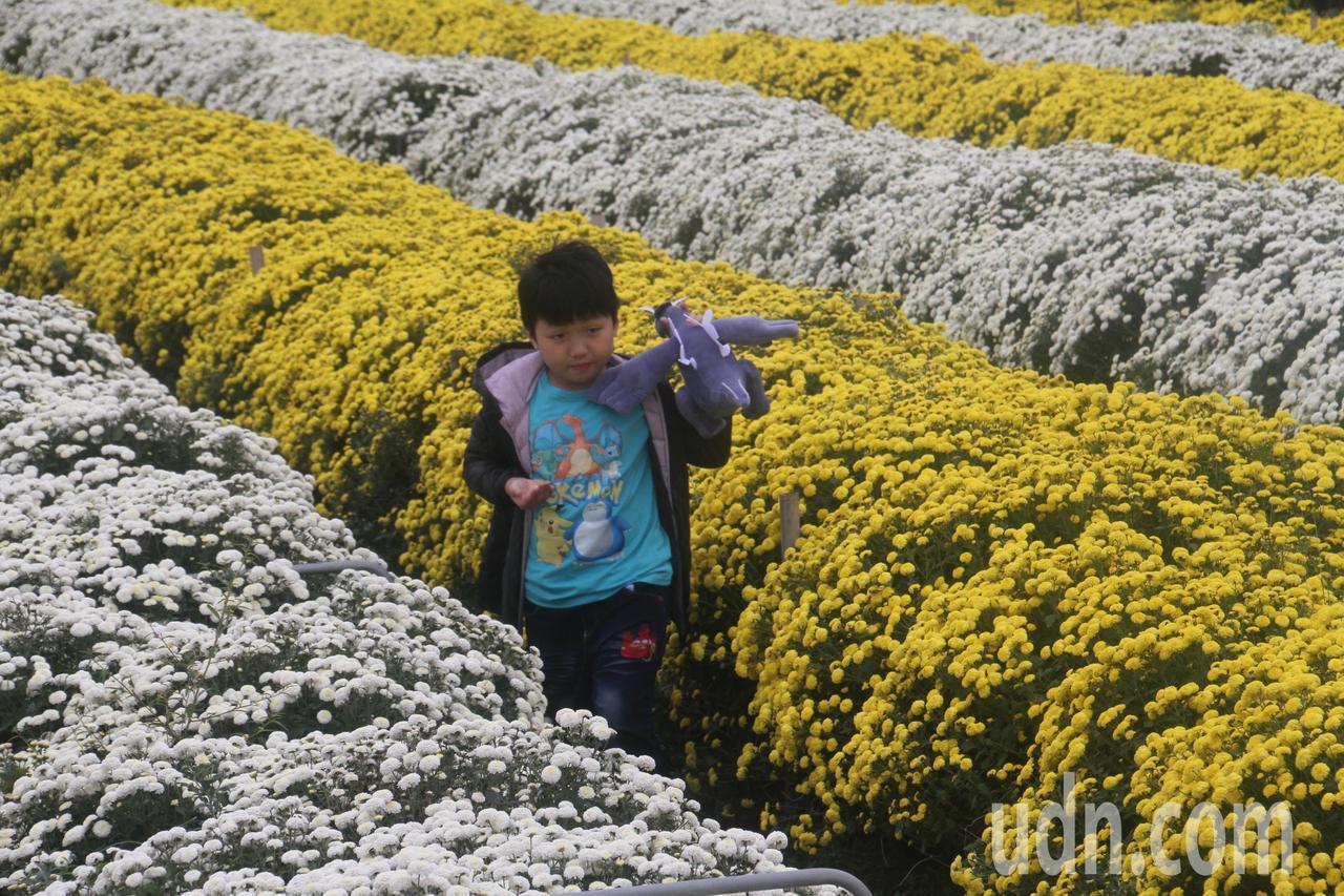 苗栗縣銅鑼鄉九湖台地的杭菊盛開,花海景致迷人。記者胡蓬生/攝影