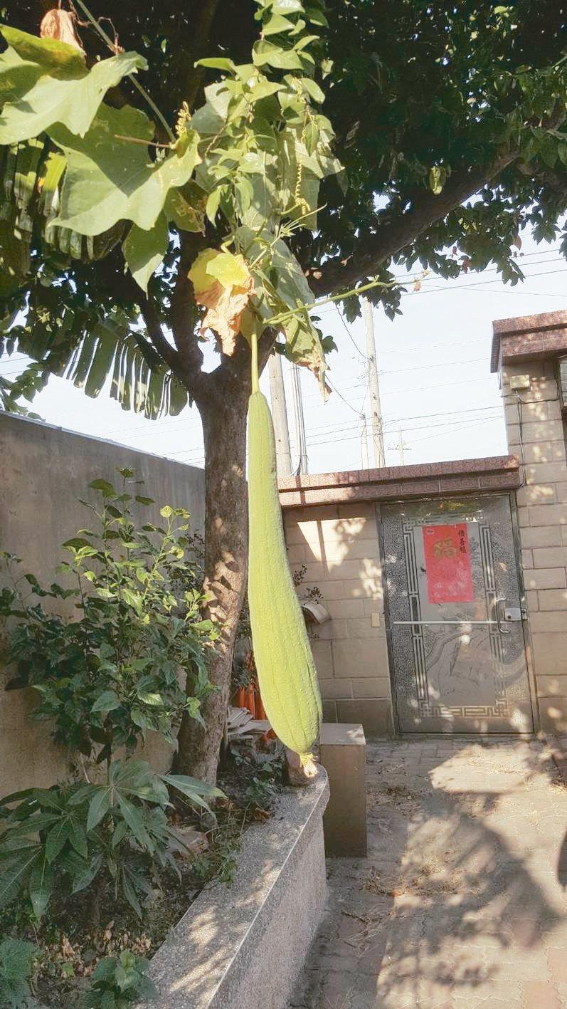爬上親園藍莓樹上的絲瓜。 ◎履彊 圖片提供