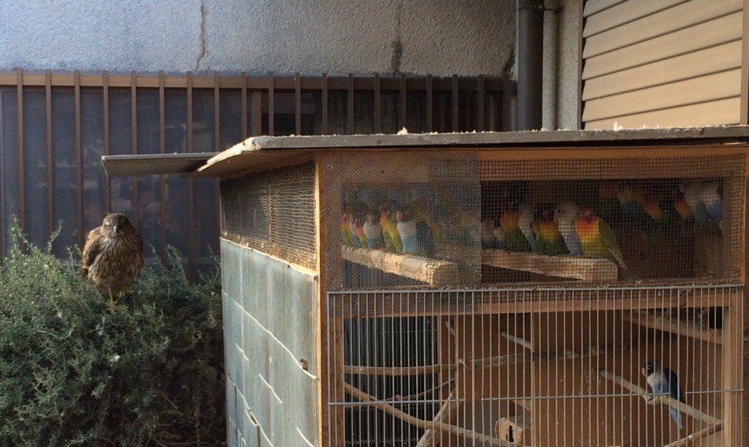 有飼主表示院子突然飛來一隻鷹,家中鸚鵡嚇得一動也不敢動。圖擷自Keimi_vg推...