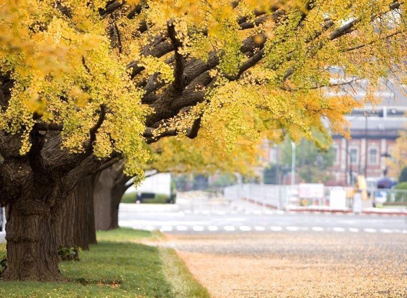 黃色的銀杏也是秋天代表色。(圖/欣傳媒)