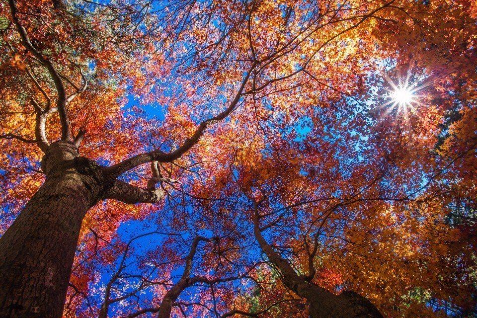 福壽山農場的楓紅。(圖/雄獅旅遊)