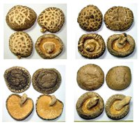 日韓香菇均屬原木栽培香菇,其特徵是菇腳均未修剪,呈歪斜狀。圖/取自農委會網站