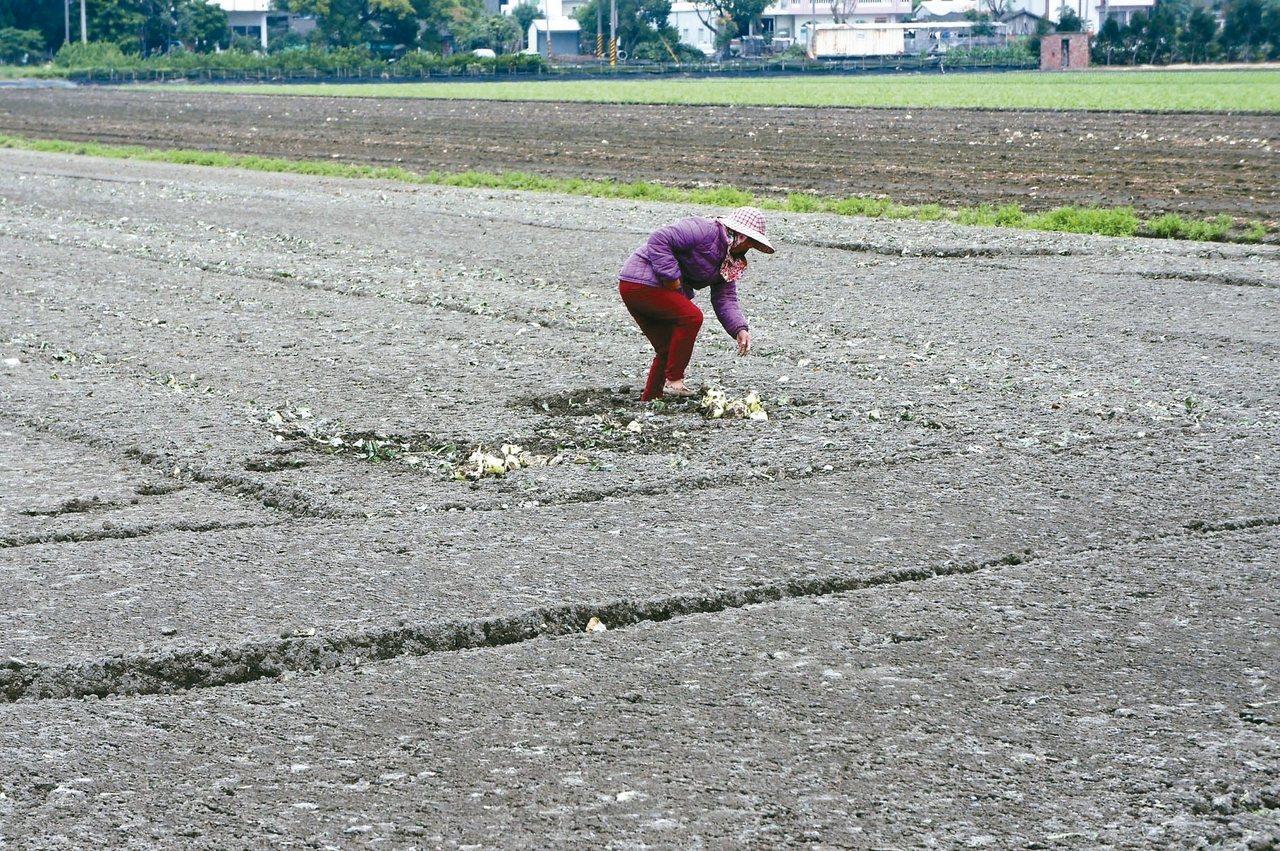 雲林縣農業缺工嚴重,近日有農民因為找不到工人採收,只好忍痛耕鋤價值30萬元的甘藍...