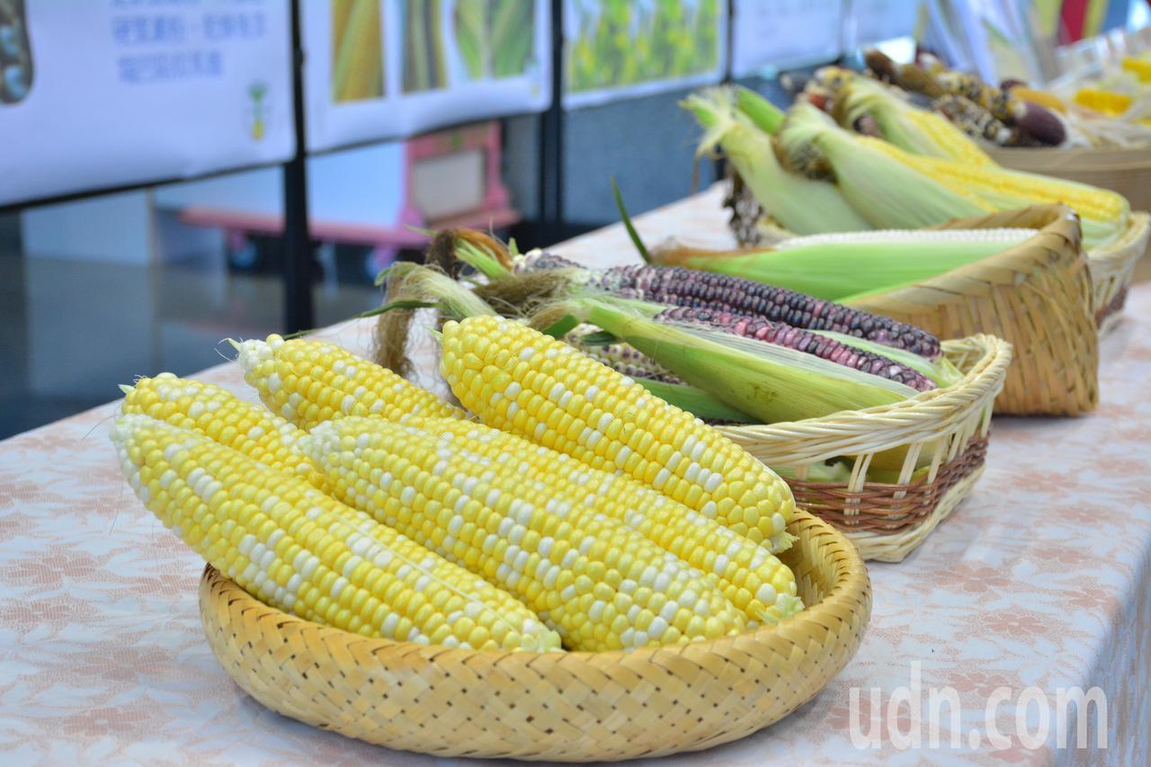 玉米越來越多樣化,除了常見的黃色、白色,還有黃白雙色及紫色等各種玉米。記者吳淑玲...