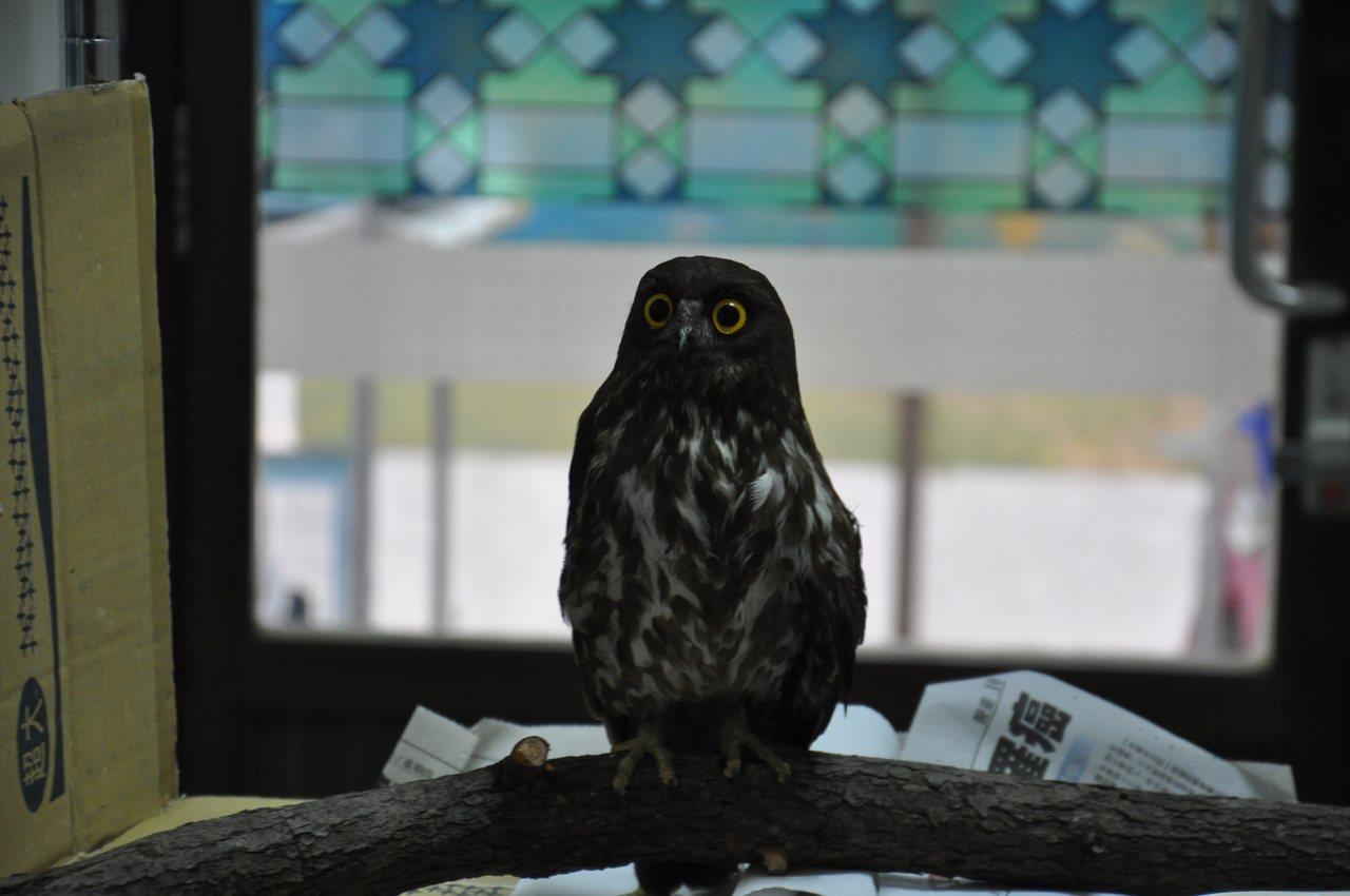 學會成員細心照料落難的野鳥,約兩周到一個月可康復野放,野放率約百分之40。記者張...