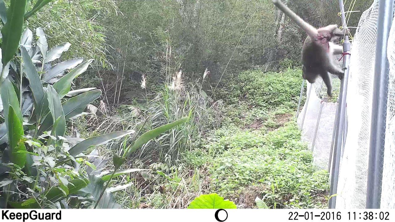台灣彌猴攀爬碰觸電網後,迅速轉身逃離。圖/東海大學生命科學系提供